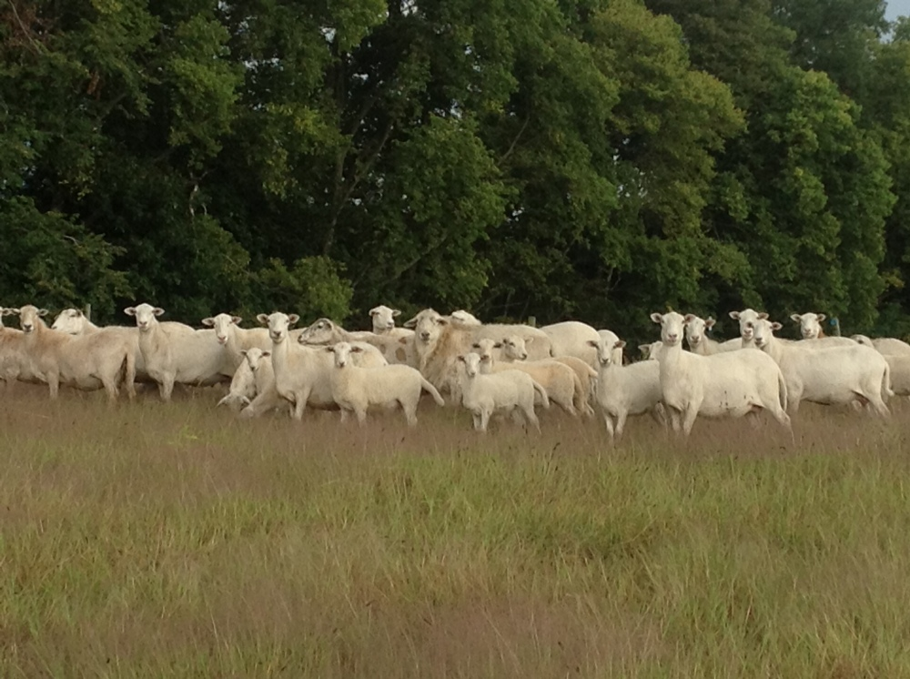 pictue_sheep in field_091413